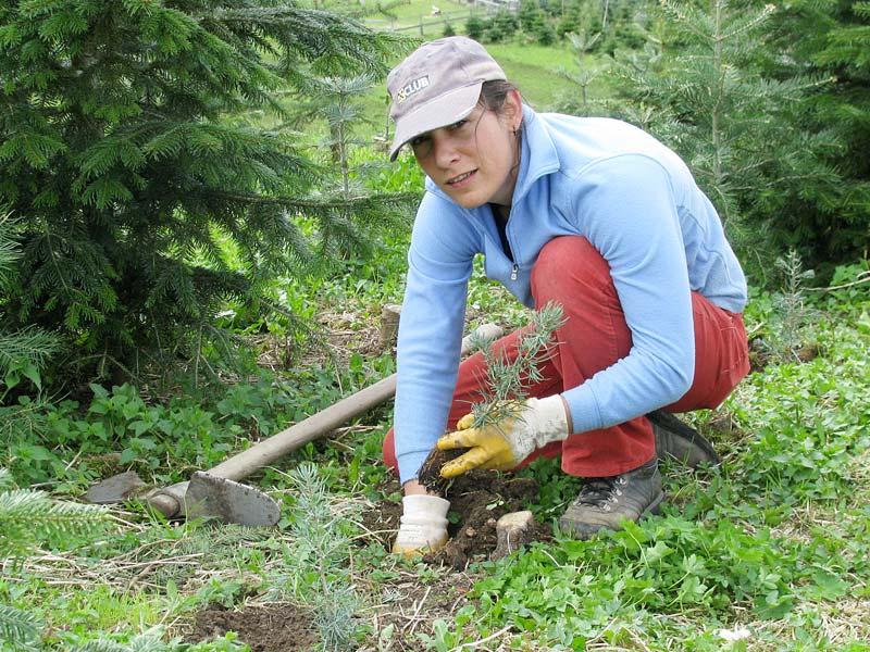 Christbaumanbau Jungpflanzen - Vitalhof Tunelhof Christbäume